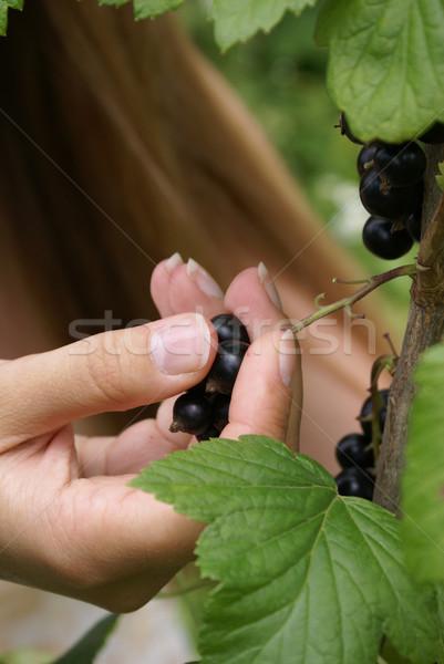 Gewas zwarte bes bush vruchten gezondheid Stockfoto © Pozn