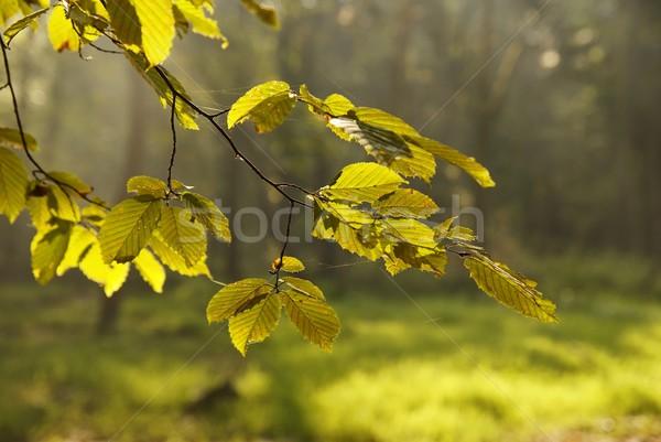 Bladeren blad groene zonsopgang bos mist Stockfoto © Pozn