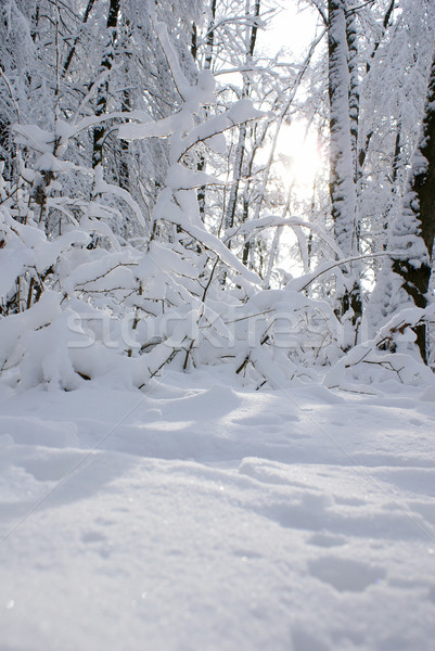 Snow-covered forest Stock photo © Pozn