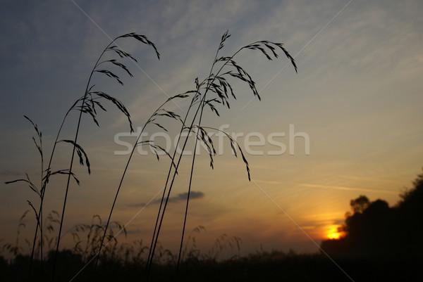 Veld gras stralen zon hemel Stockfoto © Pozn