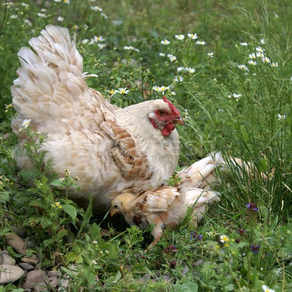 Chicken Stock photo © Pozn