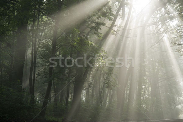 Stralen zichtbaar bomen mistig ochtend voorjaar Stockfoto © Pozn