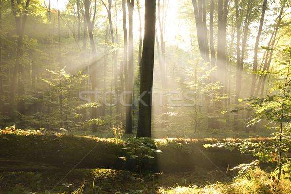 Stralen zon najaar bos blad Stockfoto © Pozn