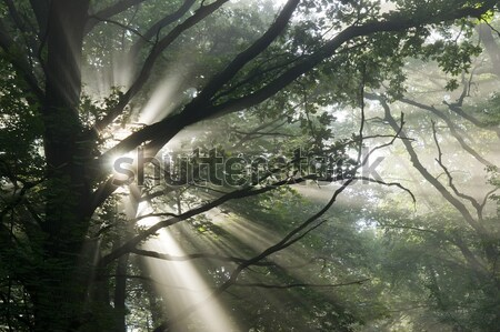 Brouillard arbres arbre feuille Photo stock © Pozn
