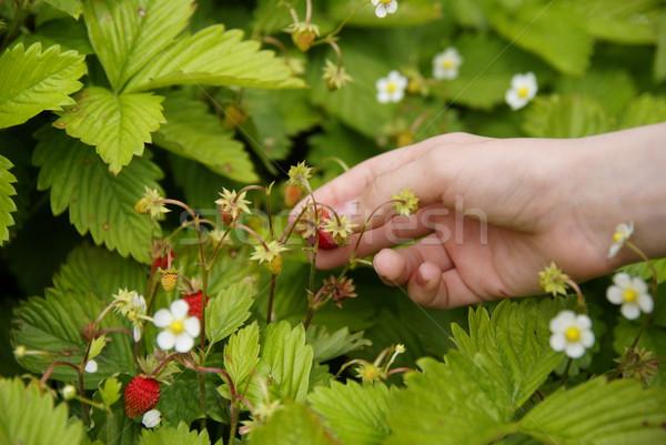 Collectie aardbeien eerste vruchten bloem voedsel Stockfoto © Pozn