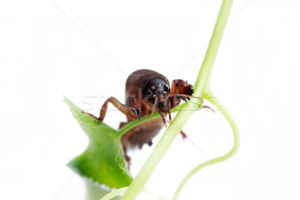 Mole cricket  Stock photo © prajit48