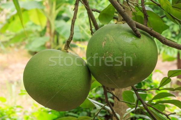 grapefruit on tree Stock photo © prajit48