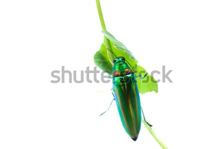 Metallic wood-boring beetle Stock photo © prajit48