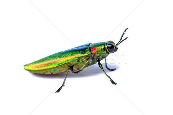 Metallic wood-boring beetle Stock photo © prajit48