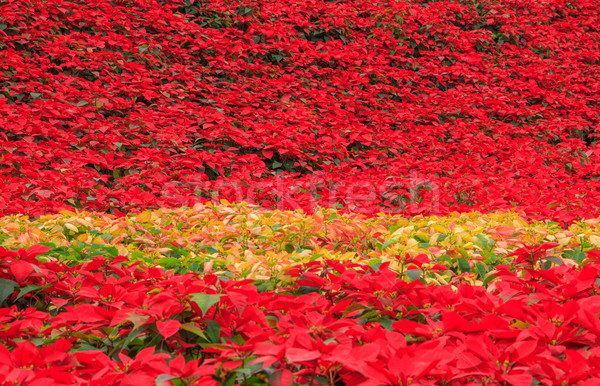 red poinsettia garden Stock photo © prajit48