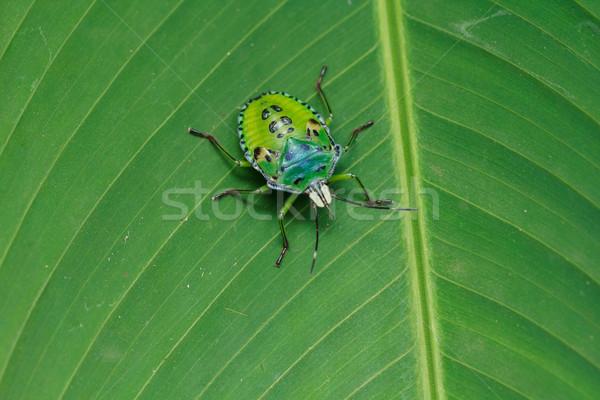 Yeşil böcek muz yaprak ağaç bahar Stok fotoğraf © prajit48