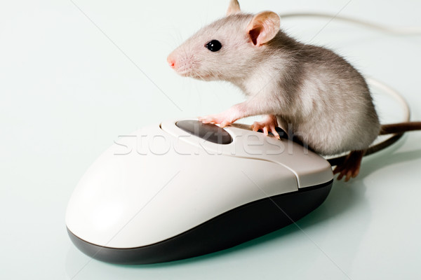 House mouse Stock photo © pressmaster