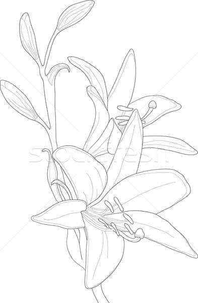 Foto stock: Blanco · Lily · hermosa · primavera · resumen · fondo