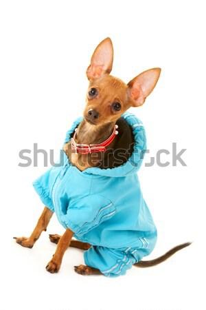 Dog fashion Stock photo © pressmaster