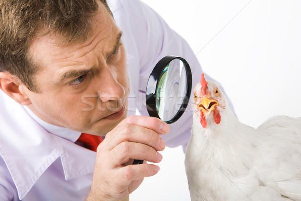Looking at hen Stock photo © pressmaster