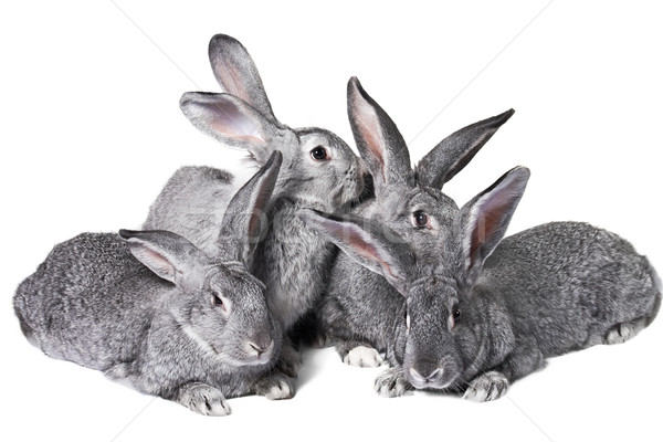 Group of rabbits Stock photo © pressmaster