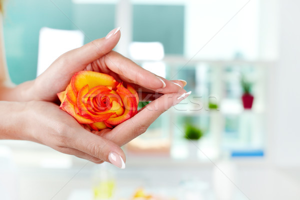 Rosa feminino rosebud mãos french manicure Foto stock © pressmaster