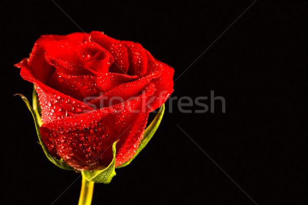 Frischen rote Rose Tropfen Blume Stock foto © pressmaster