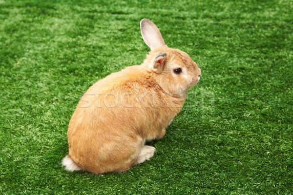 Rabbit on grass Stock photo © pressmaster