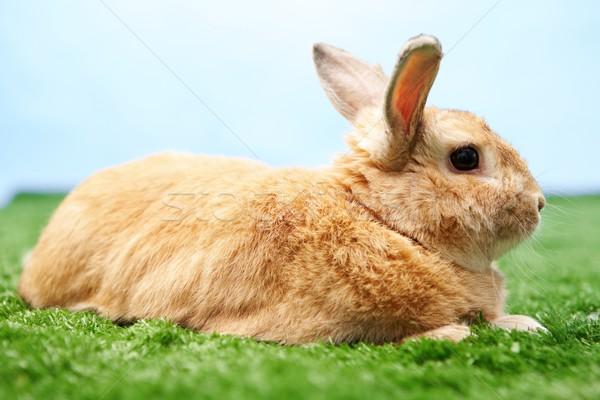 Fluffy bunny Stock photo © pressmaster