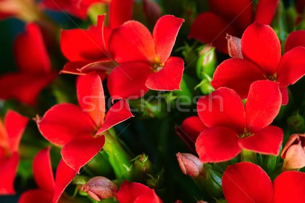 Red geranium  Stock photo © pressmaster