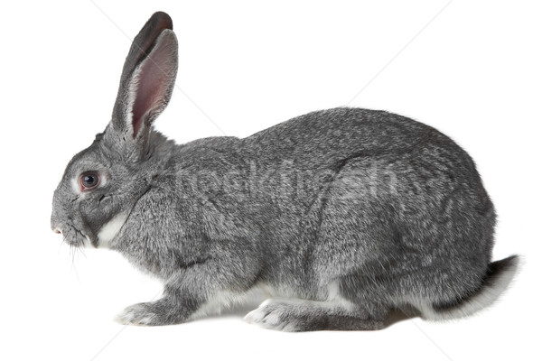 Domestic animal Stock photo © pressmaster