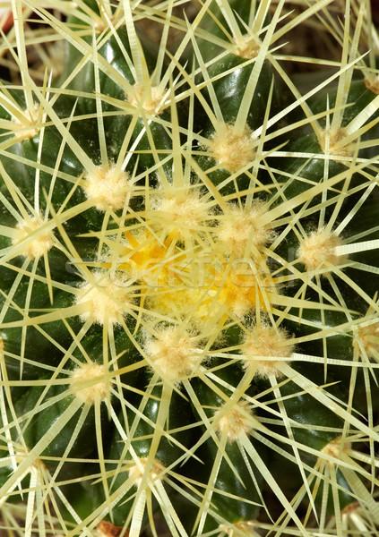 Cactus Stock photo © pressmaster