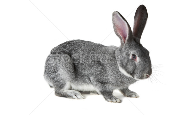 Adorable lapin image cute gris isolé Photo stock © pressmaster