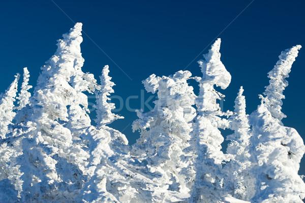 Fagyos kilátás kép fehér fenyő fák Stock fotó © pressmaster