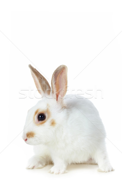 Fehér nyúl kép elővigyázatos ül elszigeteltség Stock fotó © pressmaster