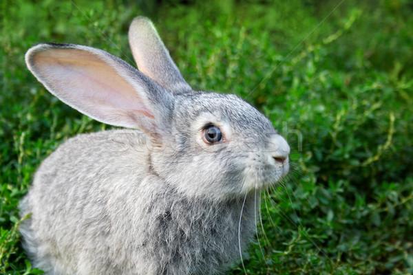 Coniglio erba immagine guardingo erba verde outdoor Foto d'archivio © pressmaster