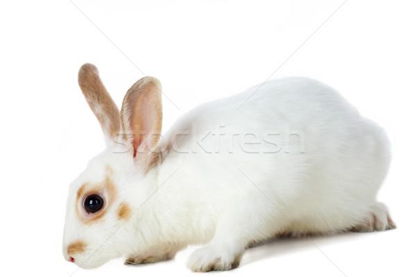 Fehér nyúl kép elővigyázatos valami elszigeteltség Stock fotó © pressmaster