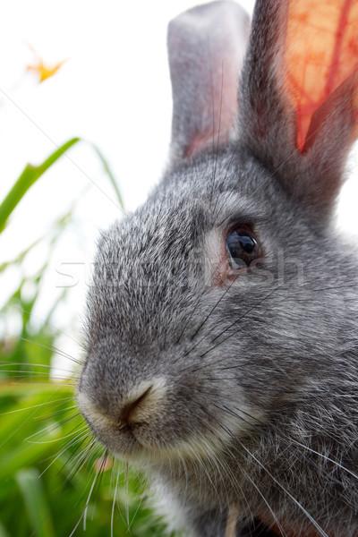 Rabino imagem cauteloso cinza coelho olhando Foto stock © pressmaster