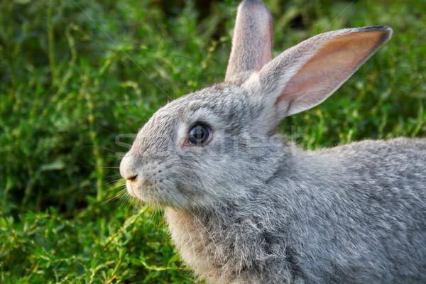 Grigio coniglio immagine guardingo erba verde outdoor Foto d'archivio © pressmaster