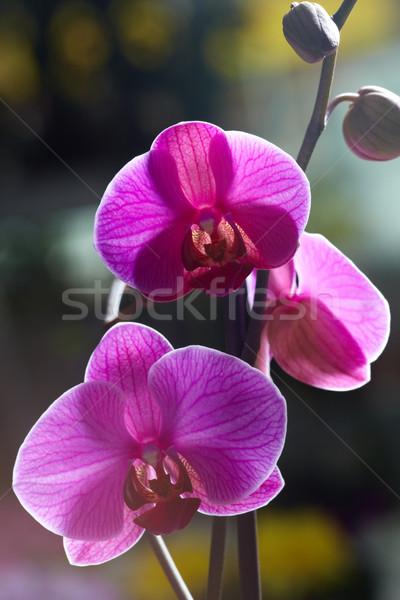 Foto stock: Violeta · orquídeas · brilhante · beleza · verão