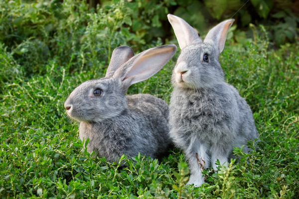 Foto stock: Casal · coelhos · imagem · dois · cinza · grama · verde