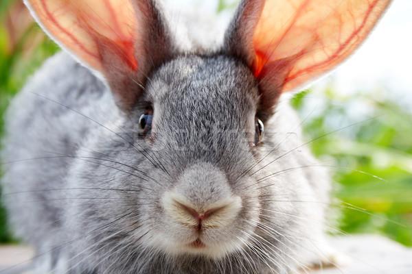 Rabbit muzzle Stock photo © pressmaster