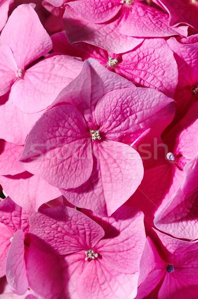 Pink geranium  Stock photo © pressmaster