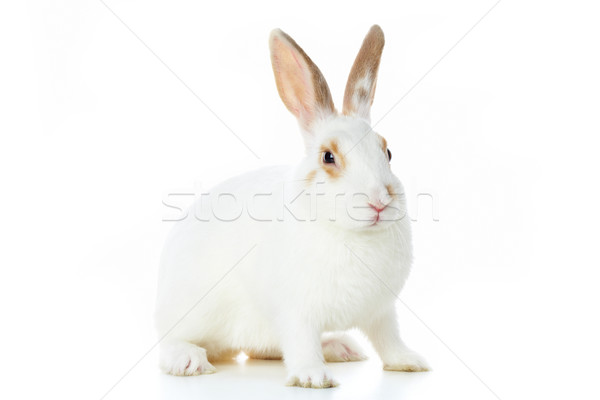 Fluffy rabbit Stock photo © pressmaster