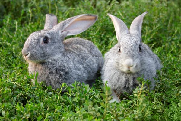 Rabbits in grass Stock photo © pressmaster