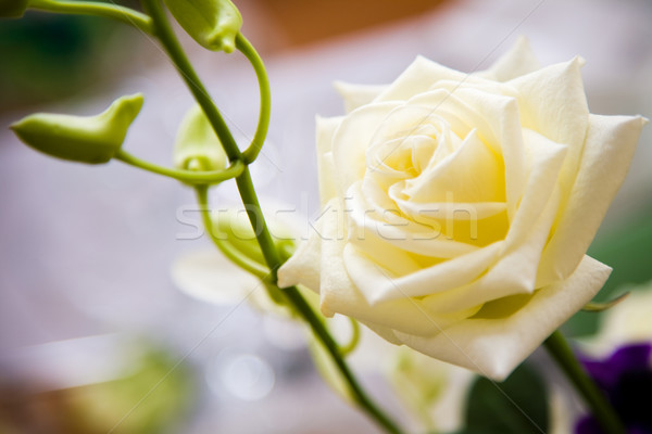 Stock fotó: Fehér · rózsa · közelről · esküvő · rózsa · zöld · szár