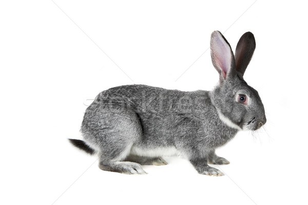 Grey rabbit Stock photo © pressmaster