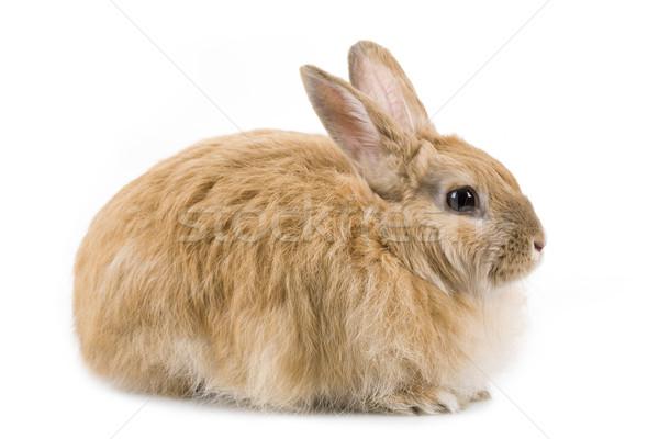 Soffice coniglio immagine guardingo bianco isolamento Foto d'archivio © pressmaster