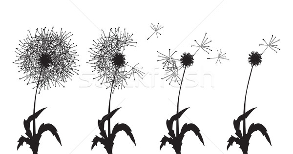 several dandelions  Stock photo © pressmaster