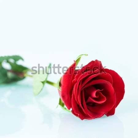 Bella meraviglioso Rose Red bianco superficie Foto d'archivio © pressmaster