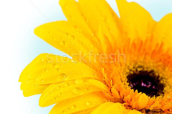 Сток-фото: Daisy · желтый · капли · воды · синий · свадьба