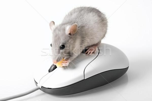 Grey mouse Stock photo © pressmaster
