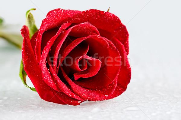 Fresco abrir rosebud orvalho gotas Foto stock © pressmaster
