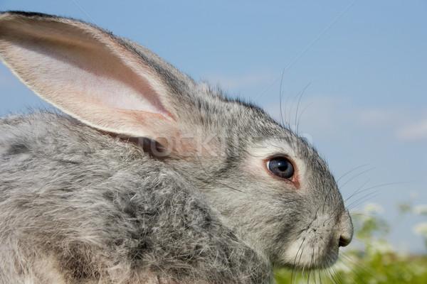 Bonitinho coelho imagem cauteloso rabino blue sky Foto stock © pressmaster