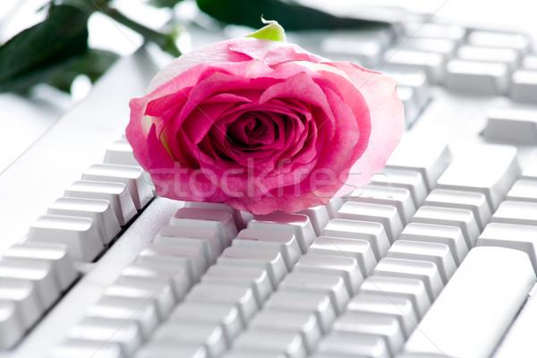 закрывается клавиатура фото Розовые розы бутон белый Сток-фото © pressmaster